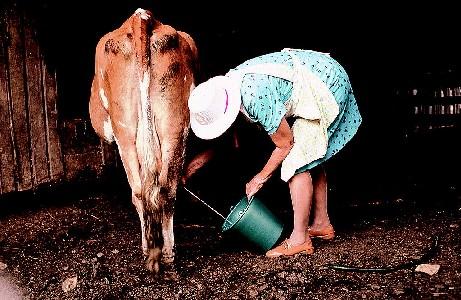 Farm woman milking a cow